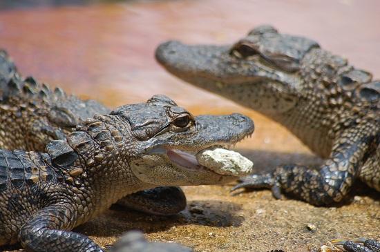 alligator-baby